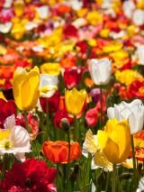 Australia's Capital Icons featuring Floriade and Bowral Tulip Time escorted by National Seniors Travel